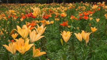 lilies, flowers, fields