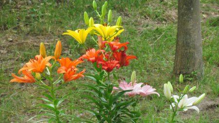 lilies, flowers, grass