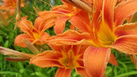 lilies, flowers, orange