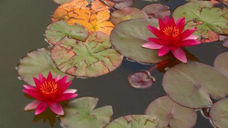 lilies, leaves, water