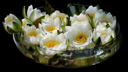 lilies, pialat, water