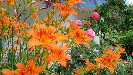 lilies, roses, flowerbed