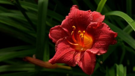 lily, bud, red