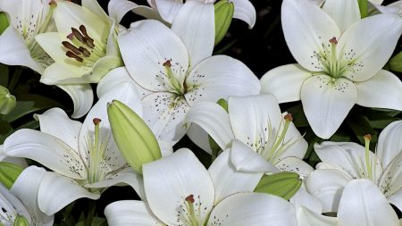 lily, buds, white