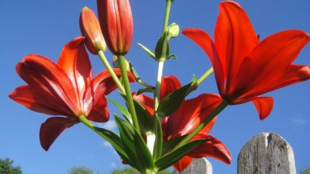 lily, flower, bright
