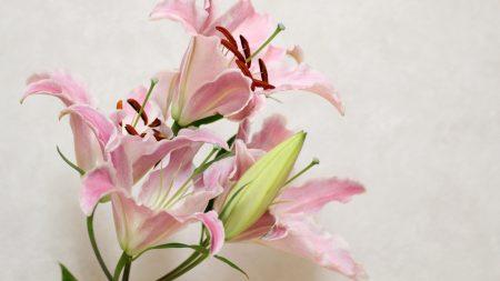 lily, flower, bud
