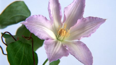 lily, flower, close-up