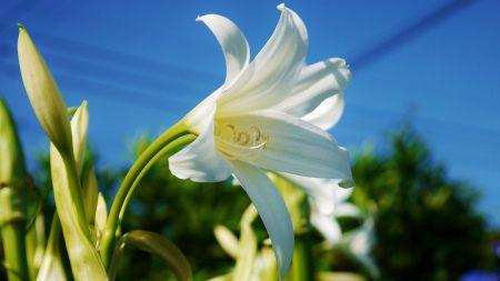 lily, flower, snowy