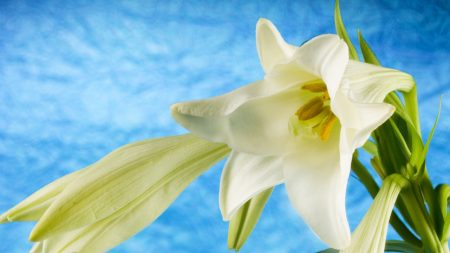 lily, flowers, white