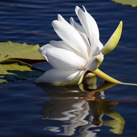 lily lies, water surface, leaves