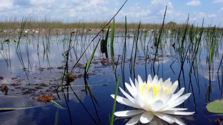 lily, marsh, reeds