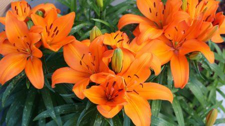 lily, orange, bright