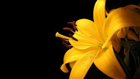 lily, petals, bud