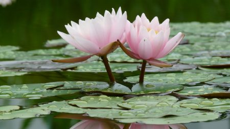 lily, water lilies, water