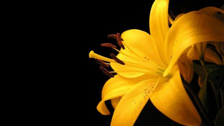 lily, yellow, flower
