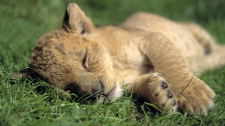 lion, baby, sleep