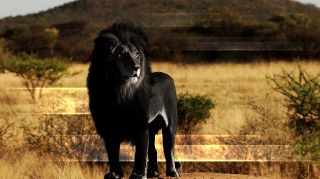 lion, black lion, mane
