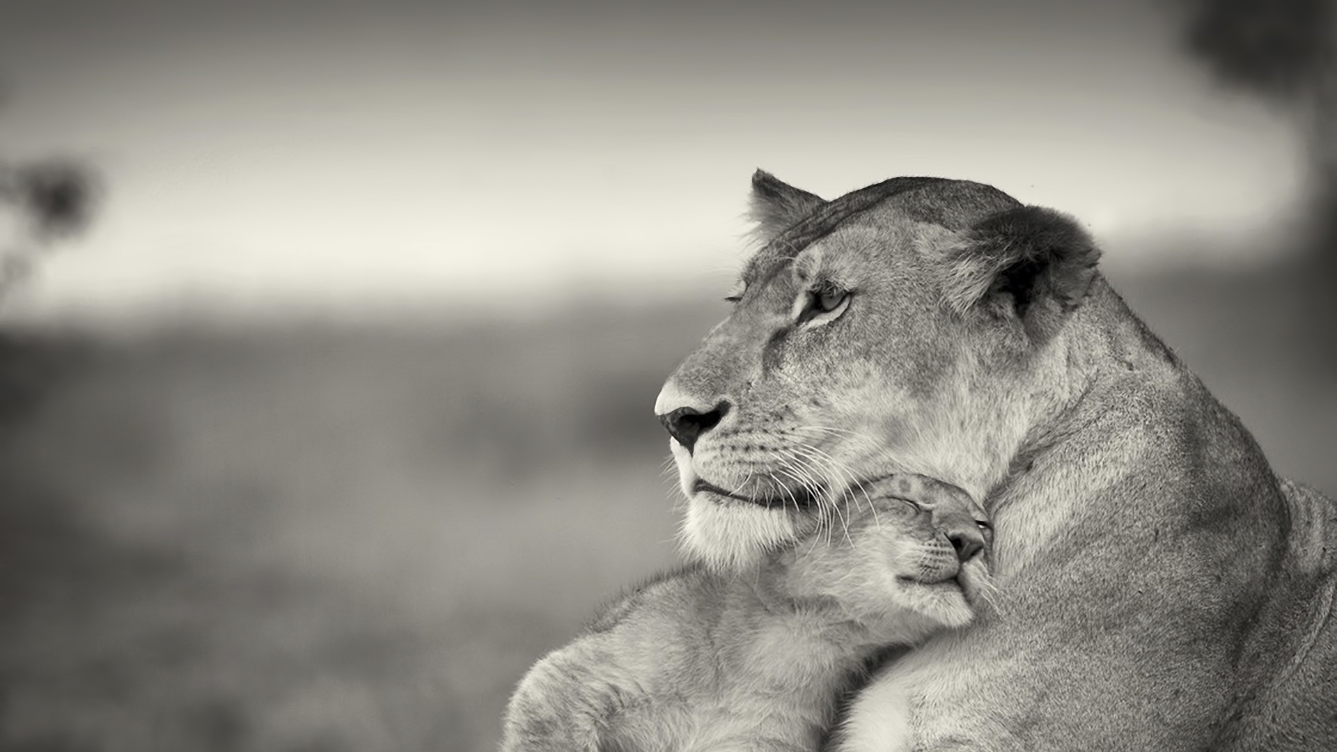 Download Wallpaper 1920x1080 Lion Couple Wool Cub Black And