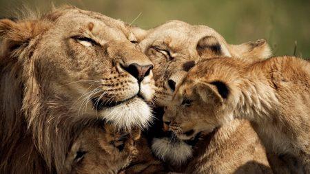 lion, cub, caring