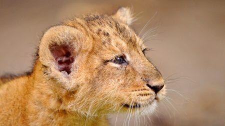 lion cub, cub, muzzle