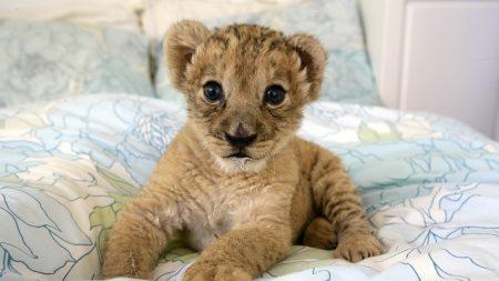 lion, cub, lie