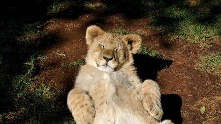 lion, cub, predator
