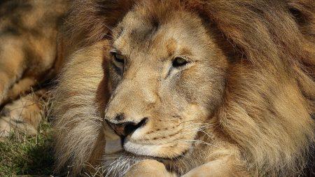 lion, face, big cat