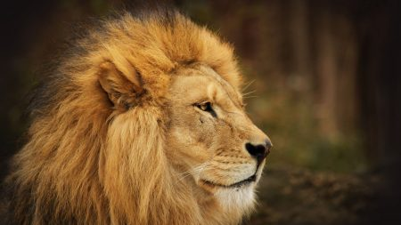 lion, face, look