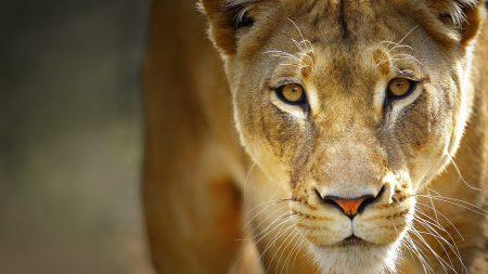 lion, face, predator
