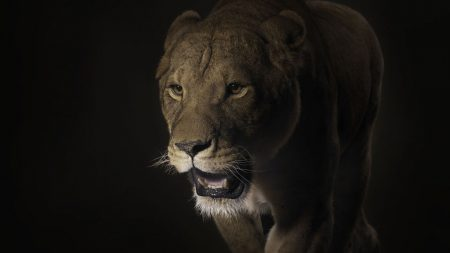 lion, face, shadow