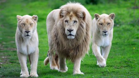 lion, family, walk