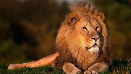 lion, grass, big cat