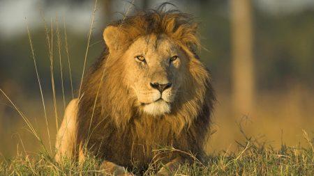 lion, grass, mane