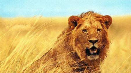 lion, grass, teeth