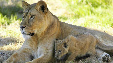 lion, lion cub, couple
