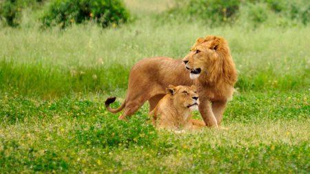 lion, lioness, field