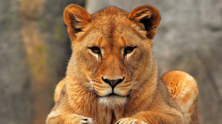 lion, lioness, sit