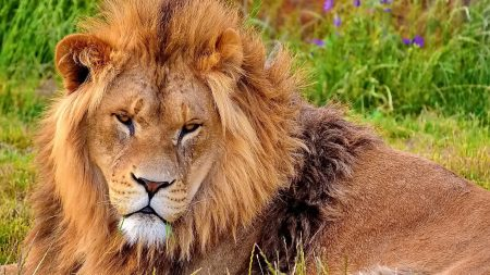 lion, look, aggression
