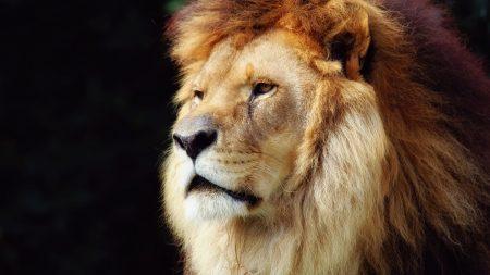 lion, mane, beautiful