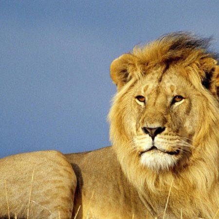 lion, mane, grass