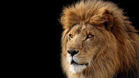 lion, mane, head