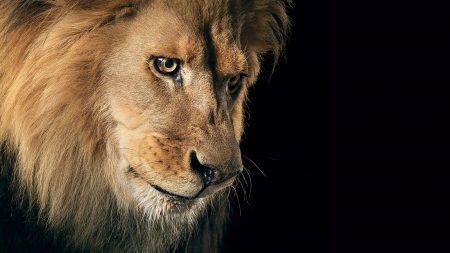 lion, mane, predator