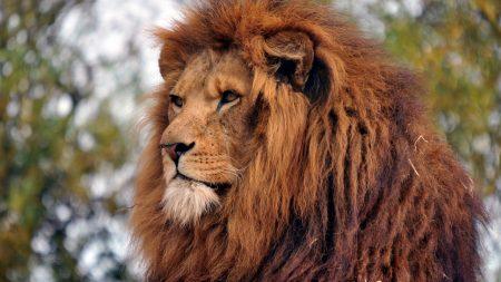 lion, muzzle, mane