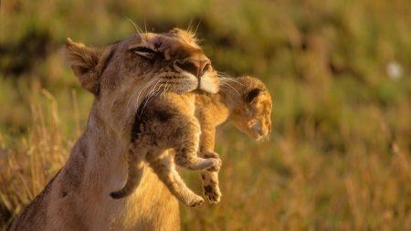 lioness, cub, care