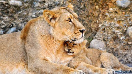 lioness, cub, caring