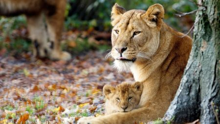 lioness, cub, grass