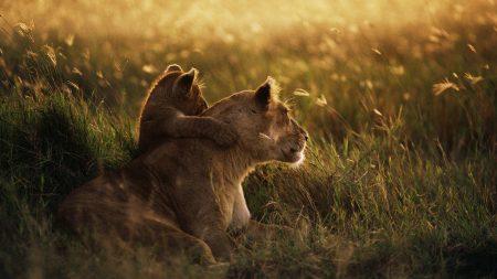 lioness, lion, sunset