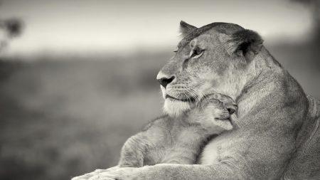 lioness, lion, white