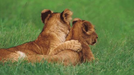 lions, couple, young