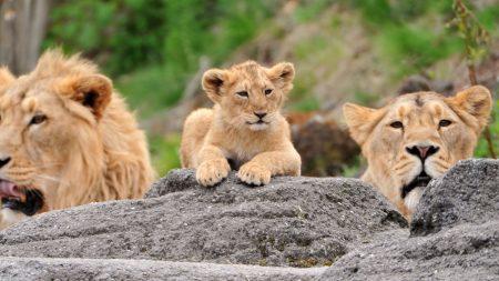 lions, family, cub